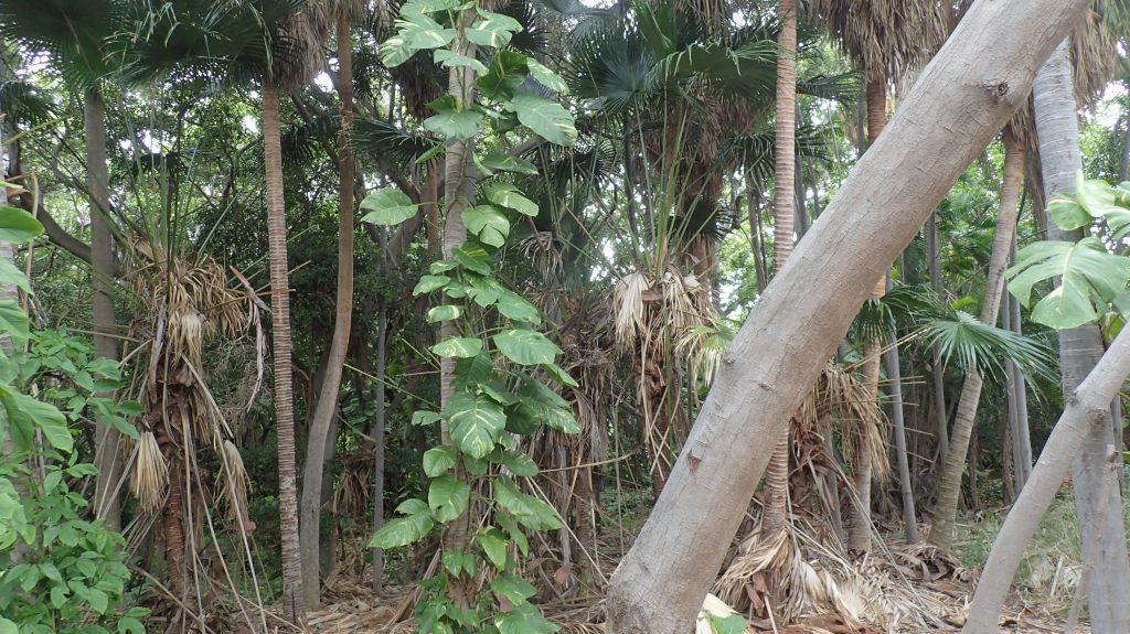 Large Leafed Vine