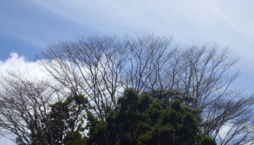 naked-treetops-blue-sky