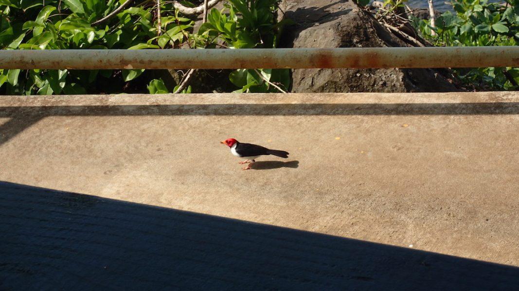 red-headed-bird