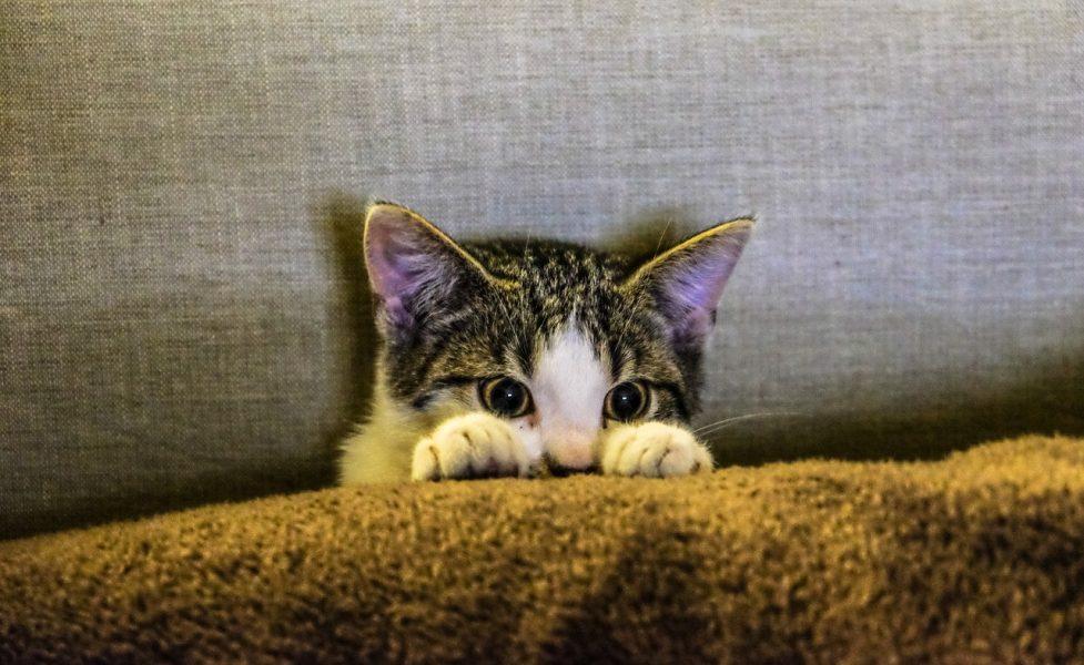 cat-poker-face