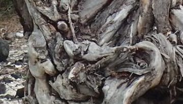 gnarly-tree-stump-face