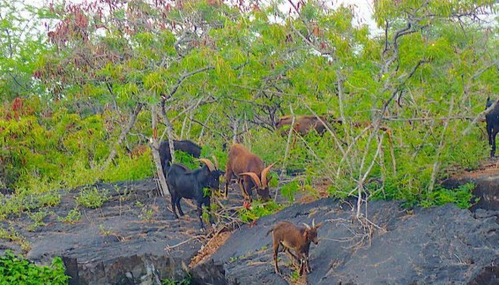 goat-herd-2