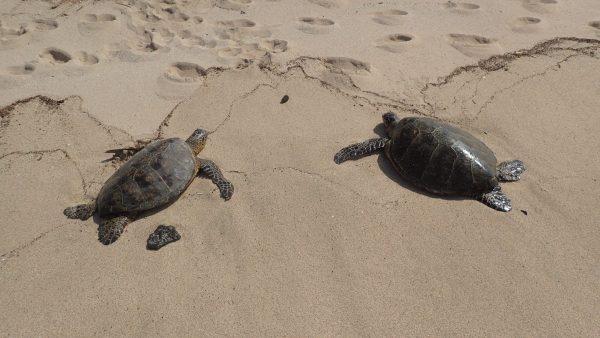 2 Turtles Framed