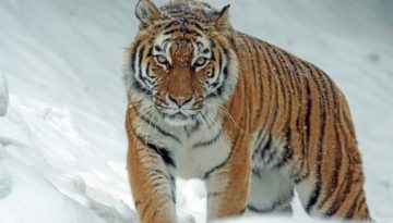 tiger_in_snow